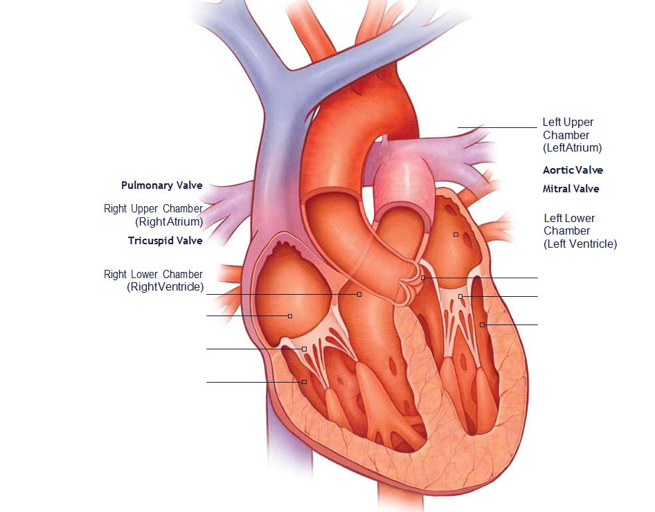 TAVR (Transcatheter Aortic Valve Replacement) 1